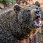 Медведь в Якутии плывет за лодкой