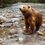 Рыбак утонул, спасаясь от медведя (Камчатка)