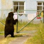 Нашествие медведей в Коми